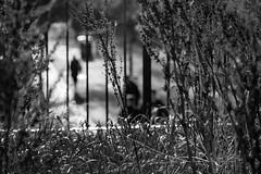 EPMG Mono Leith Nov 2017-5 (Philip Gillespie) Tags: monochrome edinburgh leith scotland 2017 autumn winter single mono black white blackandwhite clouds trees architecture building water splash birds swans flying boats piers people shadows street ships docks terminal bridges sun sky parks light dark waterfront sea river reflection buses transport pigeons dogs ocean drive ducks gulls harbour leaves grass canon eos 5dsr november bw