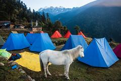 Gocha-la trek in Sikkim, India (David Ducoin) Tags: asia camp dzongri earlymorning gochala hike hiking himalaya horse india kangchenjunga mountain nationalpark nature sikkim tent trek treking trekking walking gangtok in