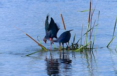 Purple Swamphen - courtship display. (forest venkat) Tags: sea animal butterfly fly forest landscape mountain jungle photo city insect nature wind belgium pix grassland iceland flying newzealand hiking finland tree usa canada newyork california leaf macro bird eagle raptor heron finch sparrow bunting bulbul falcon owl harrier prey hawk accipiter sunbird chat thrush laughingthrush flamingos bushchat dove pigeon woodpecker cuckoos crow babbler tern gull drongo tit waterbird shorebird hornbill kingfisher beeeater pipit lark wagtail weaverbird hummingbird crane flycatcher robin starling flowerpecker nuthatcher