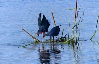 Purple Swamphen - courtship display.