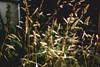 Grass #012 (shafa_rah) Tags: grass green nature flower plant aesthetic naturallight warmtones