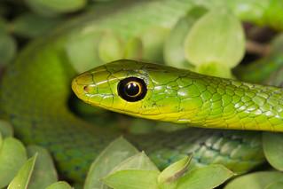 Philothamnus natalensis natalensis - Eastern Natal Green Snake.