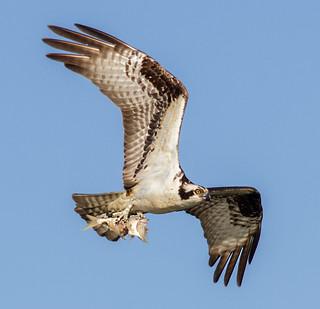 IMG_3047 Osprey