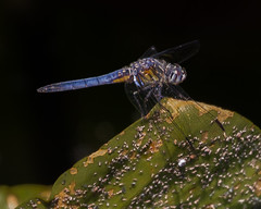 Dragonfly (famasonjr) Tags: insect dragonfly wetland canoneos7d canonef100400mmf4556lisusm bokeh water plant