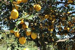 Un citronnier bien chargé... (philippeguillot21) Tags: citron jaune réunion petiteîle pixelistes canon