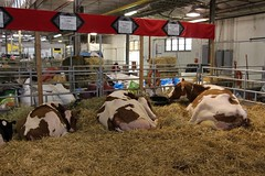 Dairy Cattle (demeeschter) Tags: usa new york state fair syracuse city town attraction market games rides livestock animals farm food show