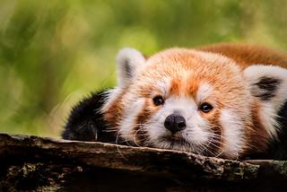 Red Panda Stare 3-0 F LR 9-16-17 J341