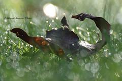 La rugiada del mattino (Gianni Armano) Tags: rugiada del mattino foglia prato sole gocce foto gianni armano photo flickr
