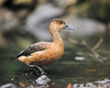 Fulvous whistling duck (Abdulkader Oubari) Tags: duck lake dive fulvous whistling bokeh nikon d3s 85mm f14 crawley tilgate nature center england syrian aleppo