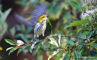 Flapping Warbler
