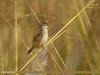 Zitting Cisticola (Cisticola juncidis) (gilgit2) Tags: avifauna birds canon canoneos7dmarkii category fauna feathers geotagged imranshah islamabad location pakistan rawallake species tags tamron tamronsp150600mmf563divcusd wildlife wings zittingcisticolacisticolajuncidis gilgit2 cisticolajuncidis