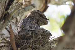 Tawny frogmouth (Podargus strigoides), Ross River, Townsville, NQ (LeahJCarr) Tags: frogmouth tawny nest