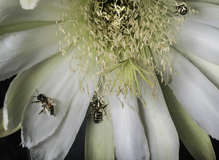 Night Blooming Cactus Flower With The Bees That Love it