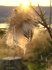 A real grown up Thistle in sunset, and with a view down to Randsfjorden. (evakongshavn) Tags: 7dwf closeup macro macroshot makro thistle seeds fluffy whiteflower light flower flowers flora plant blomst frø hvit white naturelover