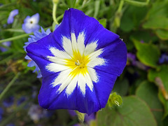 Blue & White (Cornishcarolin. Thank you Everyone!! xxx) Tags: cornwall theedenproject flowers plants nature climbers