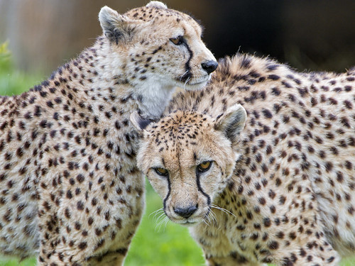 Two cheetahs liking each other