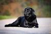 Autumn Colors (uwe.kast) Tags: labrador labradorretriever labradorredriver hund haustier dog herbst bichou bokeh canon canon50d ef70200mm