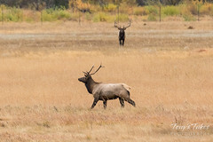 The young Elk bull rounds up some ladies while the big guy watches