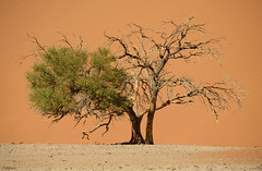 Dying tree (clasch) Tags: africa nikkor nikon d7000 landscape nature dune namib desert sand orange sesriem sossusvlei national park namibia tree naukluft dead 55200