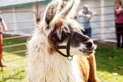 2017 294/365 (lisaclarke) Tags: 00events 00places 365 3652017 duchesscountyfairgrounds events festivals newyork nyssheepandwoolfestival photoprojects project365 rhinebeck travel unitedstates us
