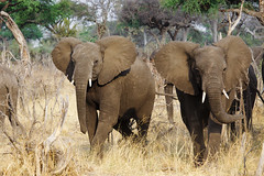 Elephants on the way to the watering place (www.holgersbilderwelt.de) Tags: nature beautiful travel landscape animal forest natural wildlife plant wild grass field outdoor way africa botany amazing scenic countryside perspective meadow safari jungle growth attractive rustic native attitude savanna national park kwandoriver elephants namibia