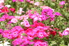 Flowers and Colours (Balaji Photography - 4.9M views and Growing) Tags: flower flora flowers flowermacro floraandfauna flowering garden gardenflower kodaikanal india travel colours colourful colors colour colorful