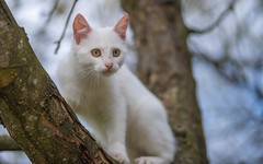 Katty (01) (Vlado Ferenčić) Tags: catsdogs cats cat kitty kittens animals animalplanet zagorje vladoferencic hrvatska vladimirferencic croatia nikond600 nikkor8020028
