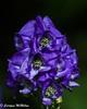 Aconitum 1 (Carolynn McMillan) Tags: aconitum monkshood closeup insects purple