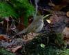 Swainson's Thrush (Dendroica cerulea) Tags: swainsonsthrush catharusustulatus catharus turdidae passeri passeriformes passerimorphae psittacopasserae eufalconimorphae neoaves neognathae aves bird thrush autumn merrillcreekreservoir washington warrencounty nj newjersey