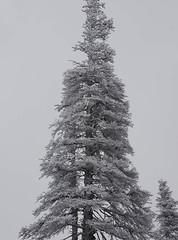 Burned Douglas-fir with rime ice (podicep) Tags: douglasfir pseudotsugamenziesii tablemountain ice forestfire