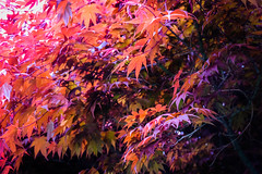 Japanese Maple (Chancelrie) Tags: outdoor plants leaves foliage spring may may2017 pnw pacificnorthwest vancouver bc britishcolumbia