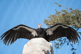 Condor Wingspan.