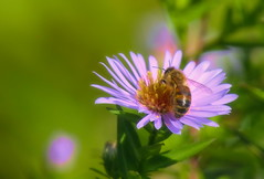 bee on Aster ageratoides in fall light (Stil Licht) Tags: aster bee bij closeup flower bloem herfst topazstudio topaz ouddorp nature natuur fall autumn