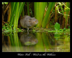 Wind in the Willows (deanmasonwp) Tags: dean mason windows wildlife dorset water vole wind willows ratty reeds stream river brook animal mammal green nature wild photo photography