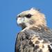 Red Tail Hawk Portrait