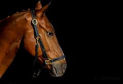 Semaine de cheval 2017 (cedric.harbulot) Tags: nikon d5300 18250mm sigma nouvellecalédonie cheval portrait animal animaux horse newcaledonia