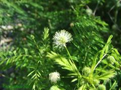 Prairie Mimosa (Picsnapper1212) Tags: prairiemimosa flower wildflower plant nature millerecologicalpark lebanon ohio