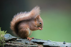 Red Squirrel - nuts (Gareth Keevil) Tags: autumn curious cute detail fluffy fluffytail garethkeevil hawes nationalpark nikon northyorkshire red redsquirrel snaizeholme squirrel uk upclose whiskers woodland yorshiredales