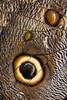 201409160893 (Giovanni Caddeo) Tags: caligobutterfly caligoeurilochus nikond7100 sigma150mmf28exdgoshsmapomacro animalplanet earthhour nginationalgeographicbyitalianpeople nikonclubit defendersofwildlife naturalmente totalphotoshop wildlife