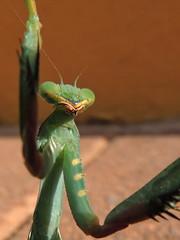 Mantis (markb120) Tags: mantis insect bug hexapod flyer flier green verdant lawny vealy virid head mandibles antennae tendril barbel cirrus antenna feeler tentacle eye leg pseudopupil