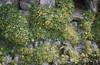 Oxalis megalorrhiza from Chilean coast. Tresco (Mary Gillham Archive Project) Tags: 2265 england fleshyyellowsorrel island oxalismegalorrhiza planttree sv8914 scillyisles tresco unitedkingdom gb