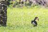 IL CALAO.   ----    HORNBILL (Ezio Donati is ) Tags: animali animals uccelli birds natura nature foresta forest africa costadavorio bigervillearea