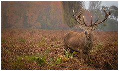 The Glory Of Autumn (Brian P Slade Photography) Tags: reddeer deer stag autumn fall antlers wildlifephotography wildlife wild uk ukwildlife mammals animals animalplanet animalportraits canon canonphotography sigma 150600mm 5d eos mkiv brianpsladephotography brianpslade ferns seasonal bushy park