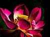 Lotus flower 4 (diarnst) Tags: flower blume lotus farbeb colors makro macro panasonic gx8 red rot yellow gelb allfreepicturesnovember2017challenge doublefantasy