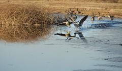 Consumnes River Preserve (rtilden) Tags: nature consumnes joaquin migration