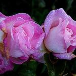 2017-10-30matin (4)pink roses in drops thumbnail