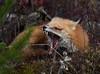 Renard roux - Red fox (Rayladur) Tags: renardroux redfox siteminiermanitou valdor abitibi raymondladurantaye raymond