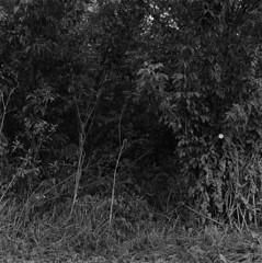 Obvious sign (Other dreams) Tags: nature bush flower whiteflower singleflower obvioussign path brush autumn cobwebs darkleaves existinglight npk vistula vistulalandscapepark nearhome trees grass plants vegetation rolleiflex35f ilfordfp4 id11 11 bw film analog diyscanningworkswonders