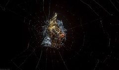 Cyclosa (dustaway) Tags: arthropoda arachnida araneae araneomorphae araneidae araneinae cyclosa spiderweb australianspiders orbweaver spinne araignee tamborinemountain mounttamborine sequeensland queensland australia natur nature