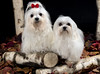 Malteser (wamhoff.maik1) Tags: malteser dog hund haustier mydog hundefoto wald langhaar